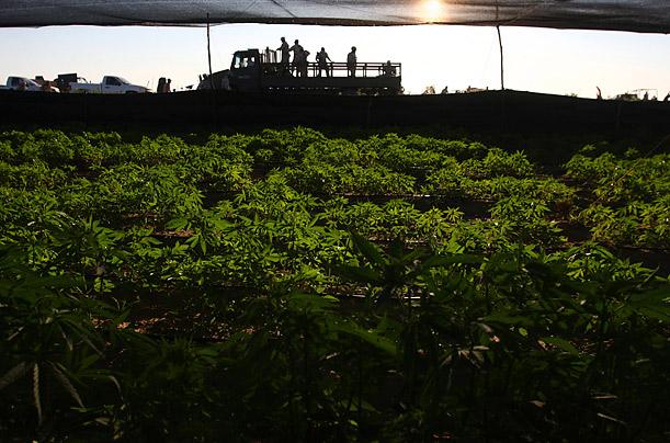 Mega Sembradio de Marihuana Ensenada